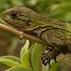 Belize 2007: Chaa Creek - Juvenile Black Spiny-tailed Iguana (Iguanidae: Ctenosaura similis)