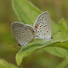 Belize 2007: Belize City - Eastern Tailed-blues (Lycaenidae: Polyommatinae: Cupido comyntas texana)