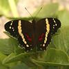 Belize 2007: Chaa Creek - Banded Peacock (Nymphalidae: Nymphalinae: Victorinini : Anartia fatima)