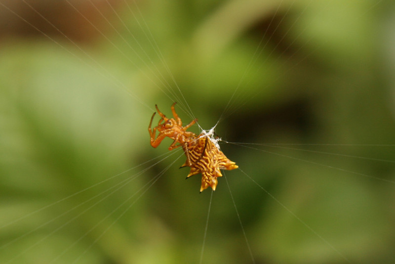 Belize 2007: Chaa Creek - Spiny Orbweaver (Araneidae: Micrathena gracilis)