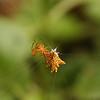 Belize 2007: Chaa Creek - Spiny Orbweaver (Araneidae: Micrathena gracilis)