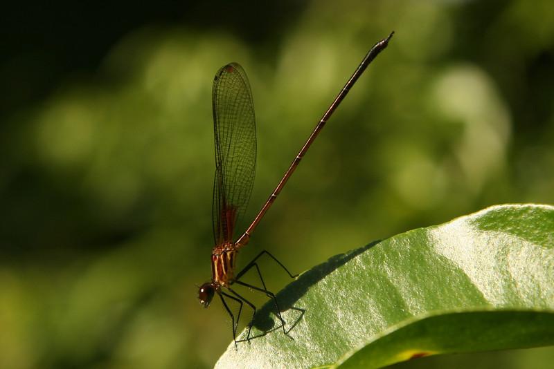 Belize 2007: Chaa Creek - Occisa Rubyspot (Calopterygidae: Hetaerininae: Hetaerina occisa) male