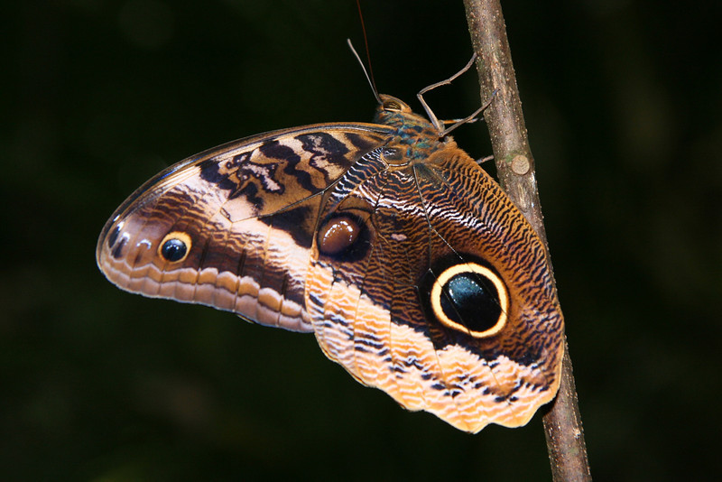 Belize 2007: Chaa Creek - Gold-edged Owl-Butterfly (Nymphalidae: Satyrinae: Brassolini: Caligo uranus)