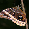 Belize 2007: Chaa Creek - Gold-edged Owl-Butterfly (Nymphalidae: Satyrinae: Brassolini: Caligo uranus)