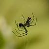 Belize 2007: Chaa Creek - Orchard Spider (Tetragnathidae: Leucauginae: Leucauge venusta)