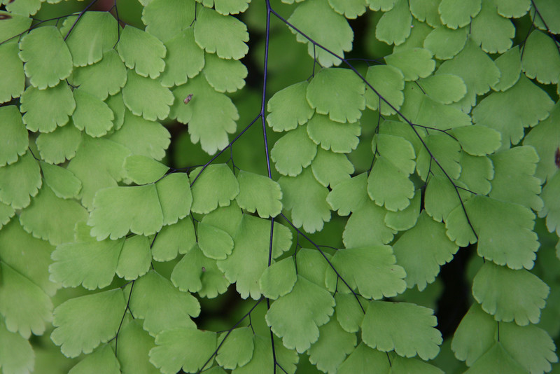 Belize 2007: Chaa Creek - Maidenhair Fern (Pteridaceae: Adiantum sp.)