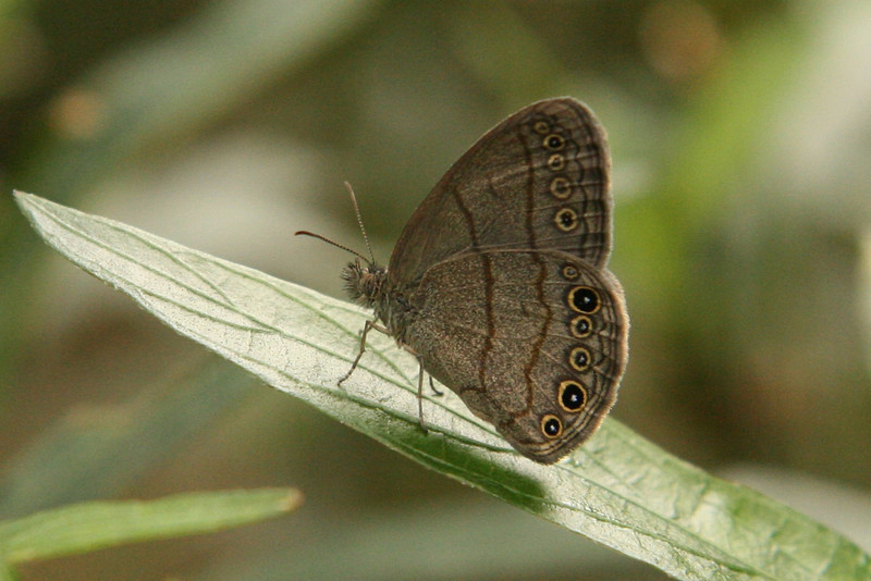 Belize 2007: Chaa Creek - Hermes Satyr (Nymphalidae: Satyrinae:  Satyrini: Hermeuptychia hermes)