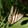 Belize 2007: Chaa Creek - Two-banded or White Satyr (Nymphalidae: Satyrinae: Satyrini: Pareuptychia ocirrhoe)