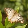 Belize 2007: Chaa Creek - White Peacock (Nymphalidae: Nymphalinae: Kallimini: Anartia jatrophe)