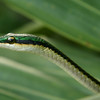 Belize 2007: Belize City - Parrot Snake or Green Headed Tree Snake (Colubridae: Colubrinae: Leptophis mexicanus)