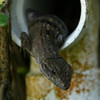 Belize 2007: Chaa  Creek - Unidentified lizard