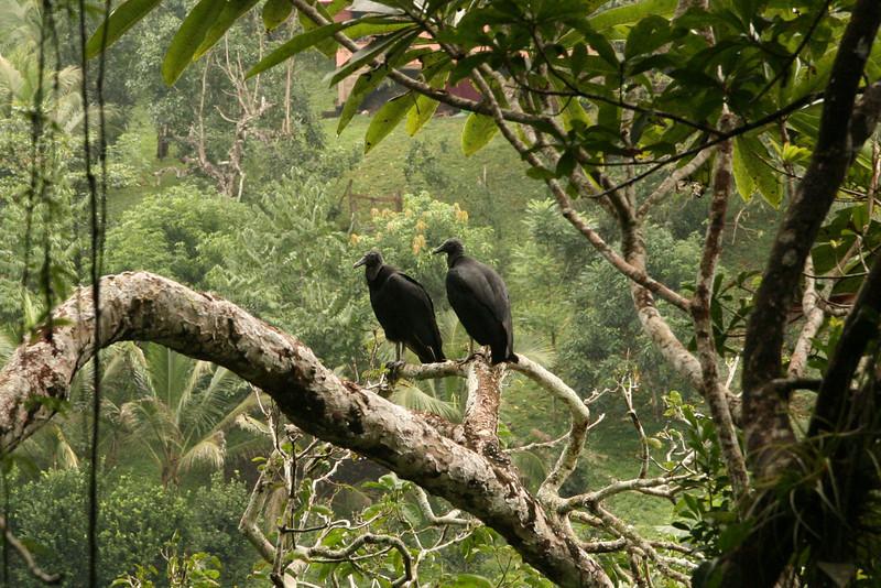 Belize 2007: Chaa Creek - Black Vultures (Cathartidae: Coragyps atratus)