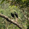 Belize 2007: Chaa Creek - Black Vultures (Cathartidae: Coragyps atratus)