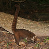 Belize 2007: Tikal -  White-nosed Coati or Coatimundi, known locally as Pizote (Procyonidae: Nasua narica)