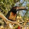 Belize 2007: Chaa Creek - Collared Aracari (Ramphastidae: Pteroglossus torquatus)