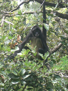 A spider monkey at the Belize Zoo.