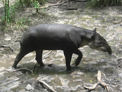 Tapir, Belize's national animal, at the zoo.