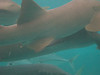 Nurse sharks surrounding the boat at Shark Ray Alley as soon as we got out