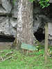 Sapodilla tree