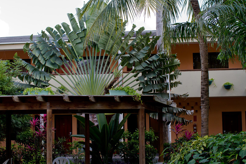 Traveler Palm, The Biltmore, Belize City
