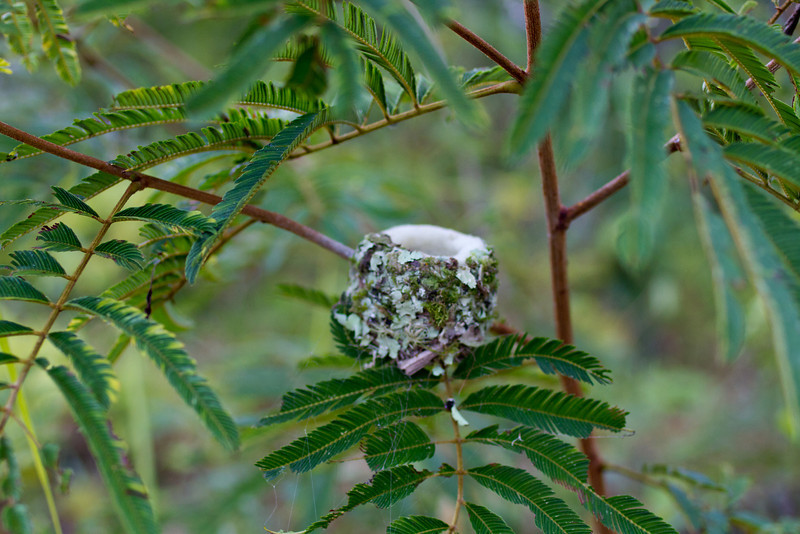 Hummingbird nest.  This nest is about the size and shape of a chinese teacup, and it was about two feet off the ground.
