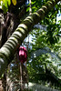 A closer shot reveals the cacao or cocoa tree (Theobroma cacao) and the pod hold the cocoa beans that make chocolate....