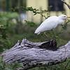 Cattle Egrets, Birds Eye View Lodge