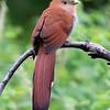 Squirrel Cuckoo, Birds Eye View Lodge