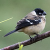 White-collared Seedeater, Birds Eye View Lodge