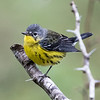 Magnolia Warbler, Birds Eye View Lodge