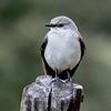 Scissor-tailed Flycatcher ?, Birds Eye View Lodge