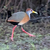 Gray-necked Wood Rail in the early morning at Birds Eye View Lodge