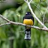 Black-headed Trogon, Birds Eye View Lodge