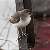 Solitary Sandpiper, Birds Eye View LOdge