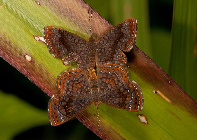 Belize 2017: Cotton Tree Lodge - Rounded Calephelis metalmarks (Riodinidae: Riodininae: Calephelis perditalis perditalis)