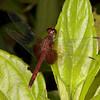 Belize 2017: Cotton Tree Lodge - Red-mantled Dragonlet (Libellulidae: Erythrodiplax fervida)
