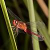 Belize 2017: Cotton Tree Lodge - Red-mantled Dragonlet (Libellulidae:  Sympetrinae: Erythrodiplax fervida)