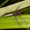 Belize 2017: Cotton Tree Lodge - Red-faced Dragonlet (Libellulidae: Erythrodiplax fusca)