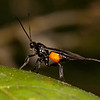 Belize 2017: Cotton Tree Lodge - Braconid parasitoid wasp perhaps (Braconidae)