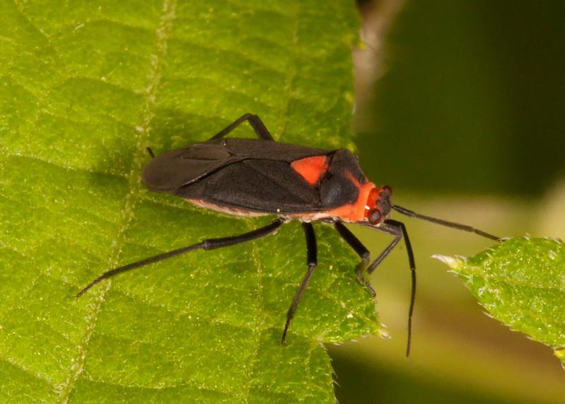 Belize 2017: Cotton Tree Lodge - Plant Bug (Miridae: Mirinae: Resthenini: Resthenia intercidenda)