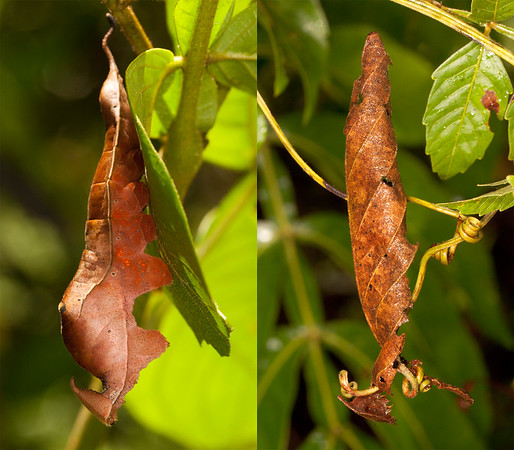 Belize 2017: Cotton Tree Lodge - Leafwing butterfly caterpillar (Nymphalidae: Charaxinae: Prepona sp. or Agrias sp.). Sometimes, when I come across such an effort at mimicry or camouflage I like to look around to see if I can find an example of the subject being imitated. In this case I found suitable dead leaf hanging only a few feet away. They were very similar in size, colour and shape, and I think they make a nice set.