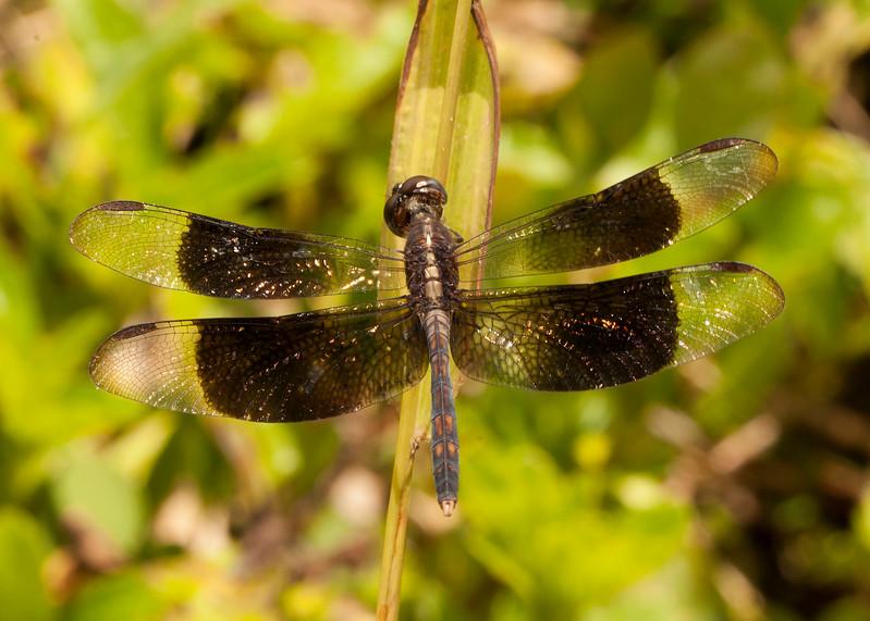 Belize 2017: Cotton Tree Lodge - Black-winged Dragonlet (Libellulidae: Sympetrinae: Erythrodiplax funerea)