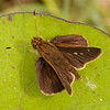 Belize 2017: Cotton Tree Lodge - Nero Skipper (Hesperiidae: Hesperiinae: Moncini: Cobalopsis nero)
