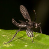 Belize 2017: Cotton Tree Lodge - March Fly (Bibionidae: Bibio sp.)
