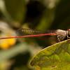 Belize 2017: Cotton Tree Lodge - Firetail Damselfly (Coenagrionidae: Telebasis sp.)