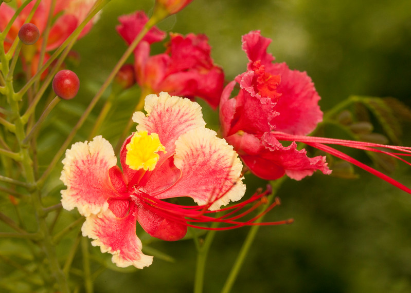 Belize 2017: Cotton Tree Lodge - Flamboyant Tree flower (Fabaceae: Caesalpinioideae: Delonix regia)