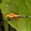 Belize 2017: Cotton Tree Lodge - Red-mantled Dragonlet (Libellulidae:  Sympetrinae: Erythrodiplax fervida), female