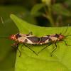 Belize 2017: Cotton Tree Lodge - Red Bugs or Cotton Stainers (Pyrrhocoridae: Pyrrhocorinae: Dysdercus mimus mimus)
