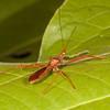 Belize 2017: Cotton Tree Lodge - Assassin Bug (Reduviidae: Harpactorinae: Debilia cf. rufescens)