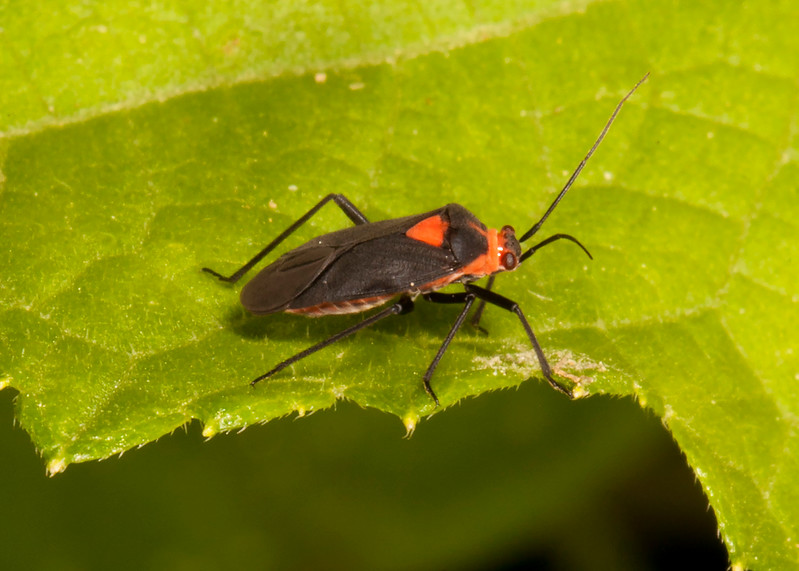 Belize 2017: Cotton Tree Lodge - Plant Bug (Miridae: Mirinae: Resthenini: Resthenia intercidenda)